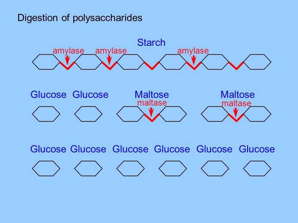 Digestion of polysaccharides amylase Starch maltase Maltose Glucose maltase Glucose
