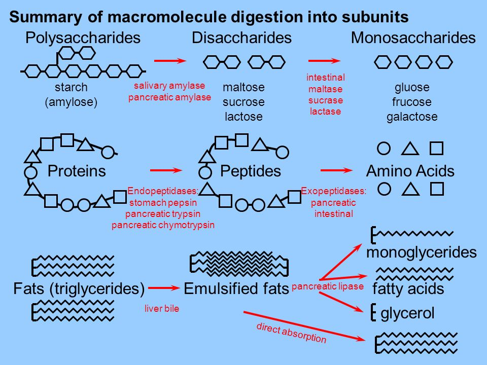 Summary of macromolecule digestion into subunits Disaccharides maltose sucrose lactose Monosaccharides gluose frucose galactose Polysaccharides starch