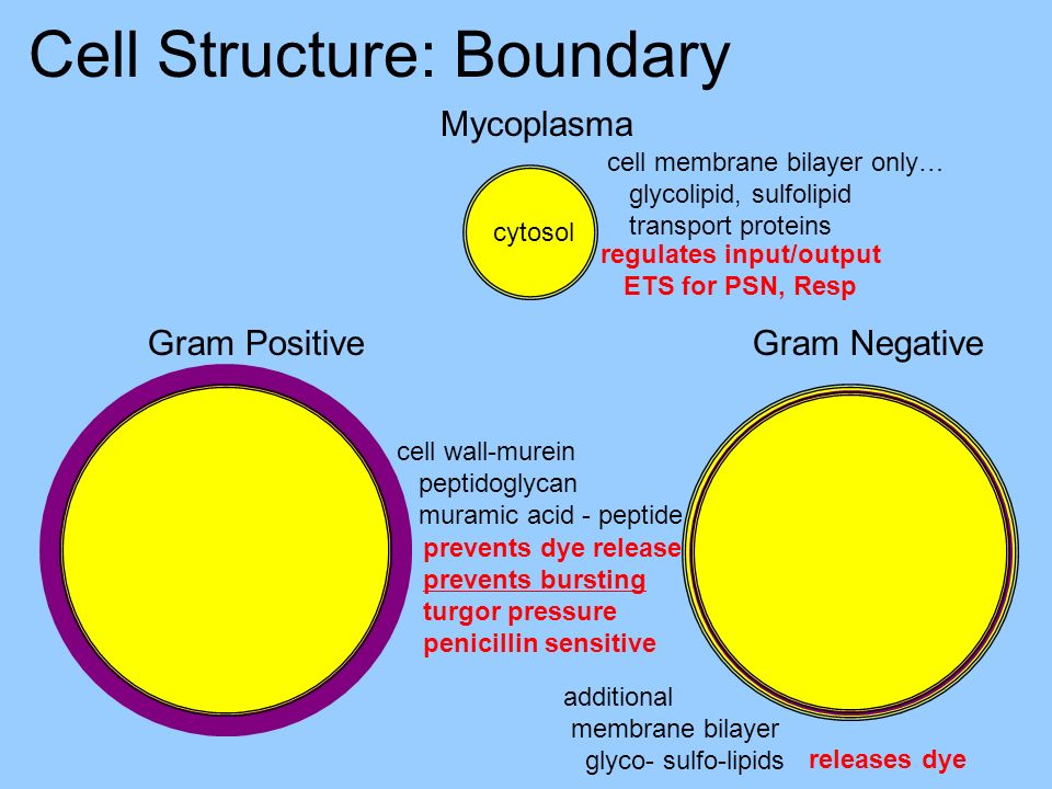 Cell Structure: Boundary Gram PositiveGram Negative Mycoplasma cell membrane bilayer only… glycolipid, sulfolipid transport proteins cell wall-murein