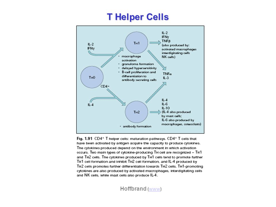 T Helper Cells Hoffbrand (www)www