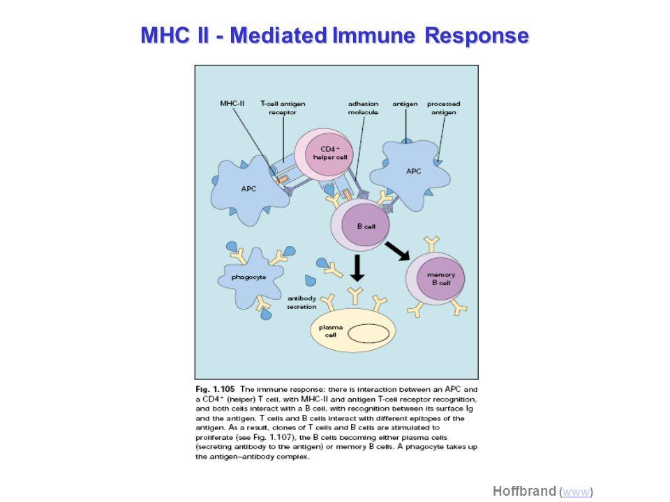 MHC II - Mediated Immune Response Hoffbrand (www)www