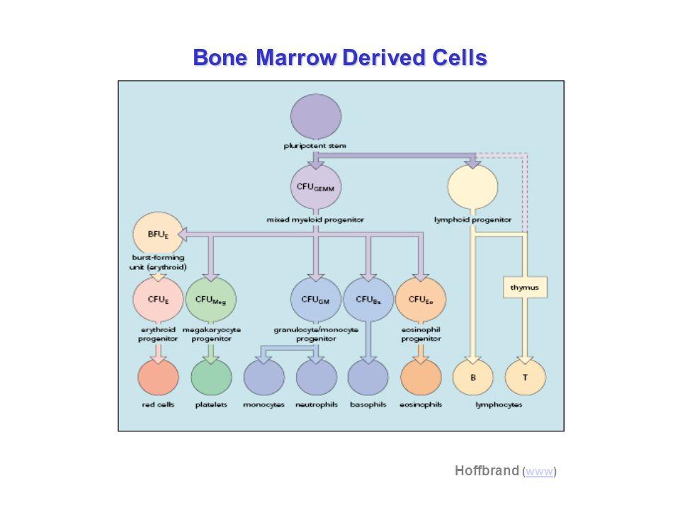 Bone Marrow Derived Cells Hoffbrand (www)www