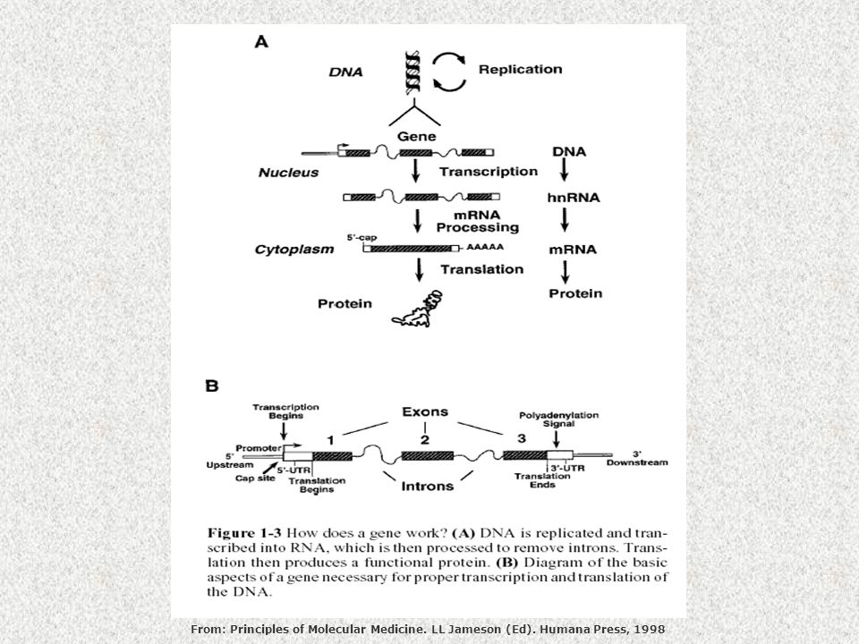 From: Principles of Molecular Medicine. LL Jameson (Ed). Humana Press, 1998
