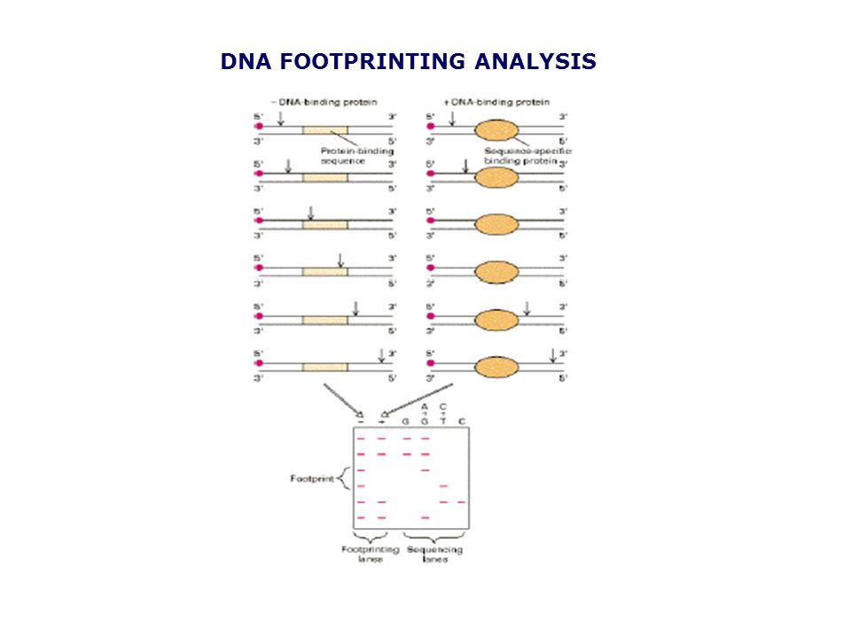 DNA FOOTPRINTING ANALYSIS