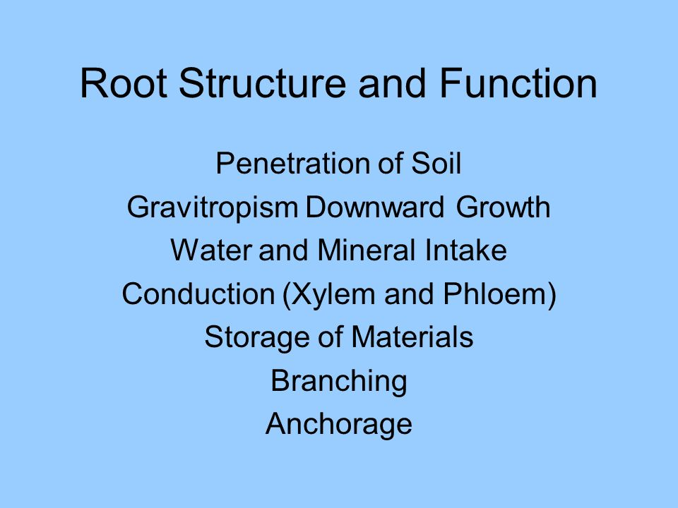 Root Structure and Function Penetration of Soil Gravitropism Downward Growth Water and Mineral Intake Conduction (Xylem and Phloem) Storage of Materia