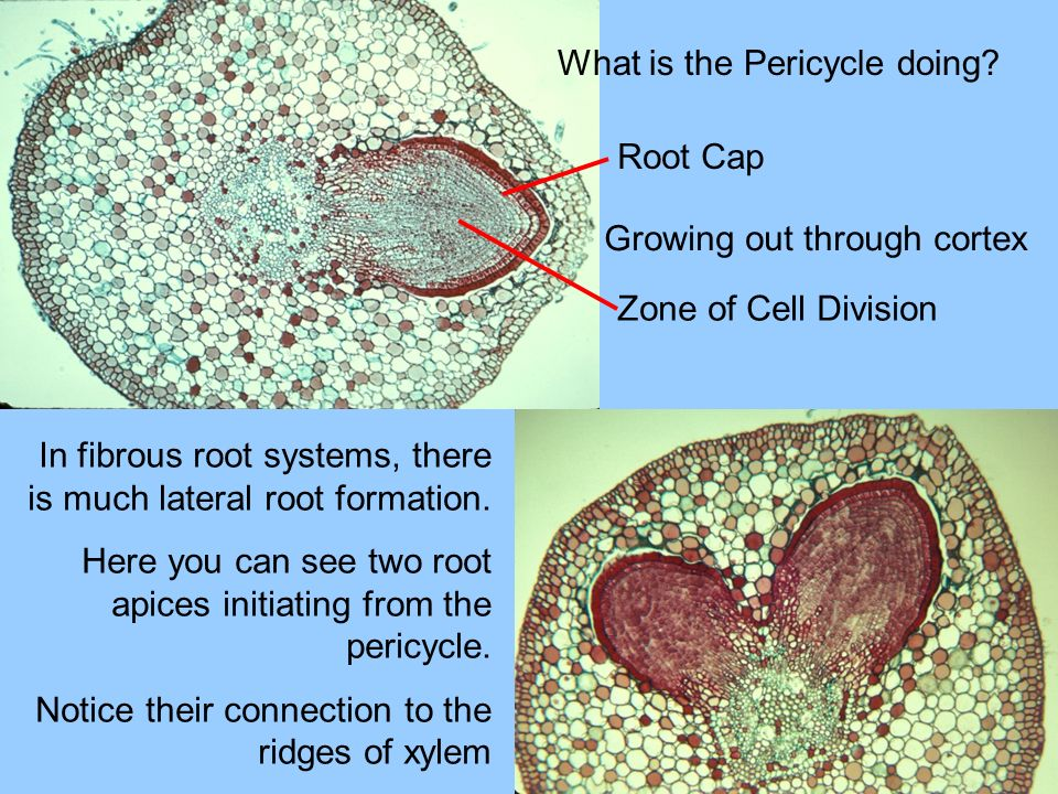 What is the Pericycle doing? Root Cap Zone of Cell Division Growing out through cortex In fibrous root systems, there is much lateral root formation.