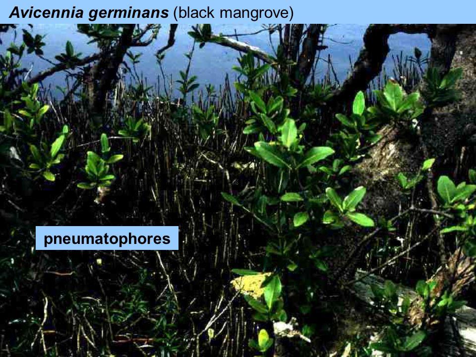 Avicennia germinans (black mangrove) pneumatophores