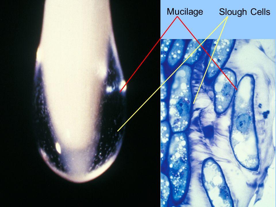 Mucilage Slough Cells