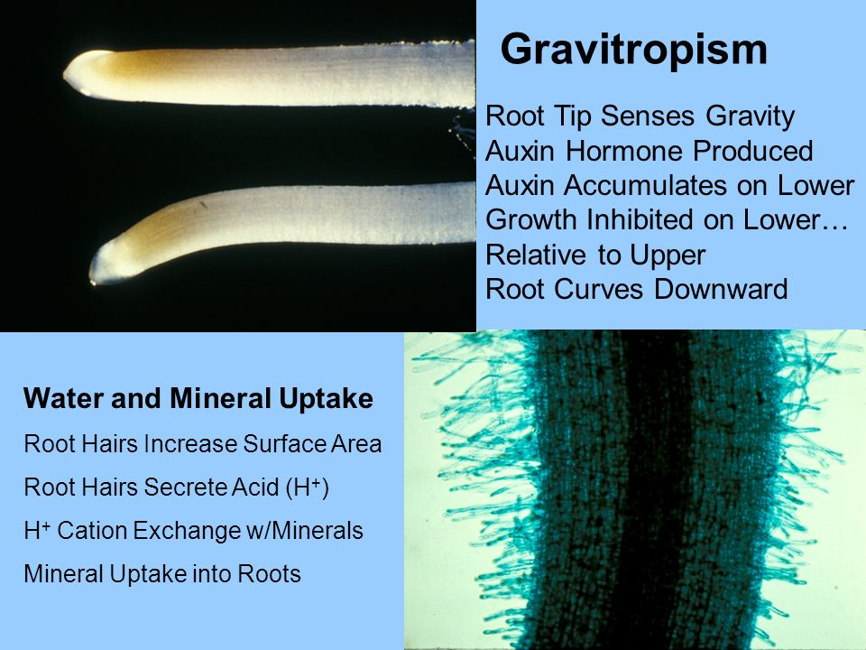 Root Tip Senses Gravity Auxin Hormone Produced Auxin Accumulates on Lower Growth Inhibited on Lower… Relative to Upper Root Curves Downward Gravitropi