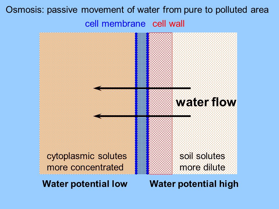 Osmosis: passive movement of water from pure to polluted area cytoplasmic solutes more concentrated soil solutes more dilute cell membrane Water poten