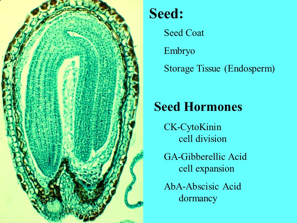 Seed: Seed Coat Embryo Storage Tissue (Endosperm) Seed Hormones CK-CytoKinin cell division GA-Gibberellic Acid cell expansion AbA-Abscisic Acid dorman
