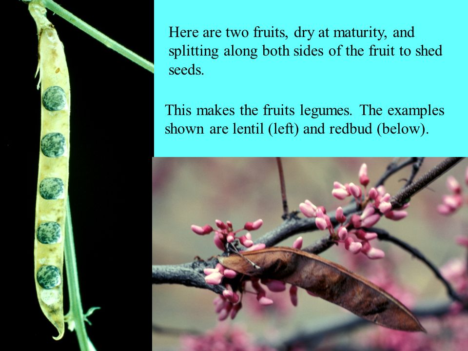 Here are two fruits, dry at maturity, and splitting along both sides of the fruit to shed seeds. This makes the fruits legumes. The examples shown are