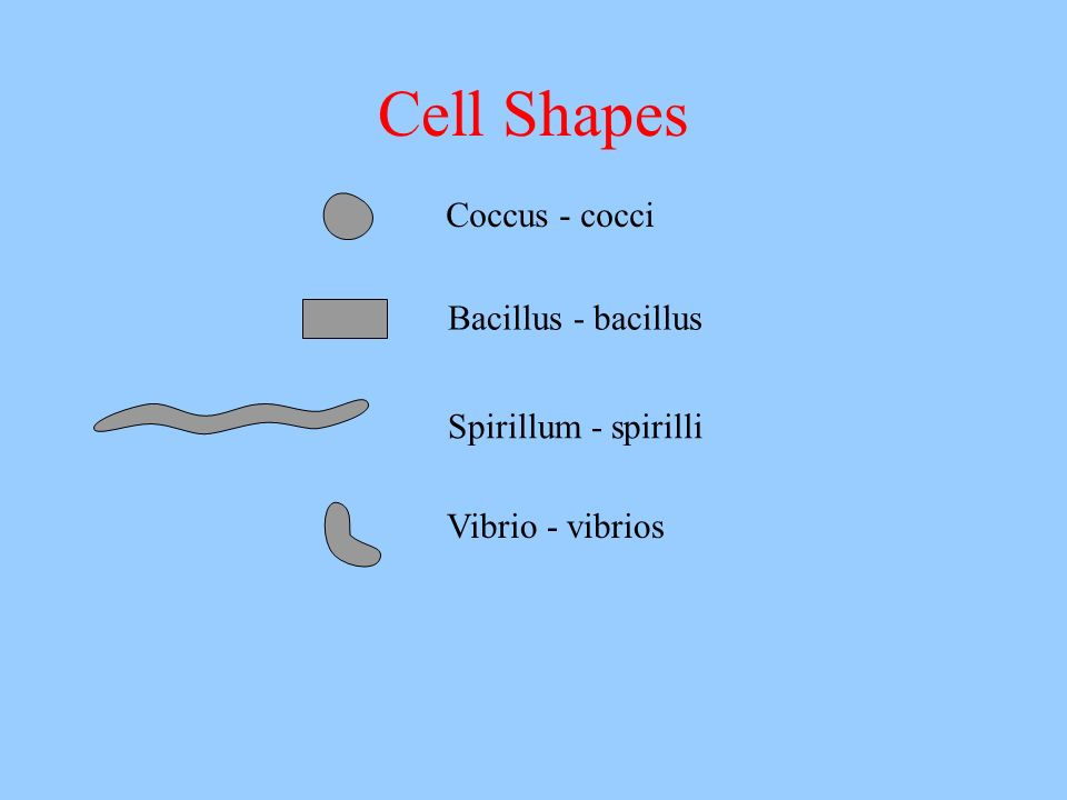 Cell Shapes Coccus - cocci Bacillus - bacillus Spirillum - spirilli Vibrio - vibrios