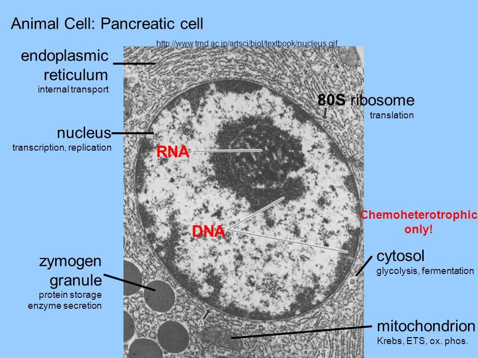 Animal Cell: Pancreatic cell http://www.tmd.ac.jp/artsci/biol/textbook/nucleus.gif endoplasmic reticulum internal transport nucleus transcription, rep
