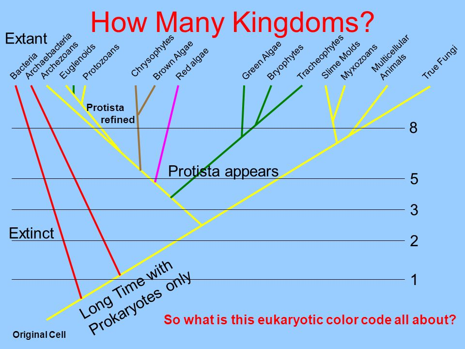 How Many Kingdoms? Multicellular Animals MyxozoansProtozoans Tracheophytes Bryophytes True Fungi Slime Molds Red algae Brown Algae Green Algae Chrysop