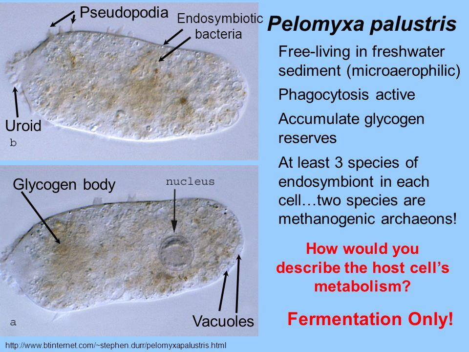 http://www.btinternet.com/~stephen.durr/pelomyxapalustris.html Uroid Glycogen body Vacuoles Pseudopodia Endosymbiotic bacteria Pelomyxa palustris Free
