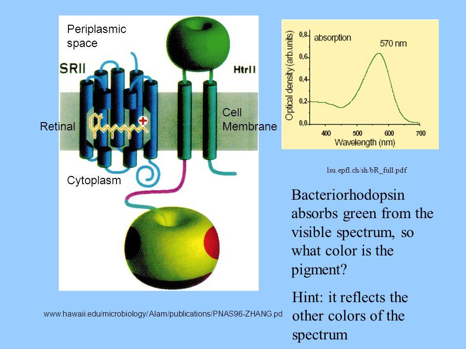 www.hawaii.edu/microbiology/ Alam/publications/PNAS96-ZHANG.pd Cytoplasm Periplasmic space Cell Membrane Retinal lsu.epfl.ch/sh/bR_full.pdf Bacteriorh