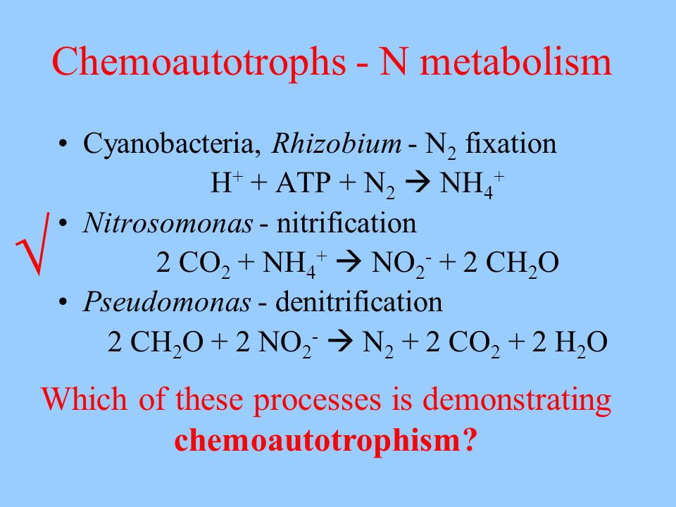 Chemoautotrophs - N metabolism Cyanobacteria, Rhizobium - N 2 fixation H + + ATP + N 2 NH 4 + Nitrosomonas - nitrification 2 CO 2 + NH 4 + NO 2 - + 2