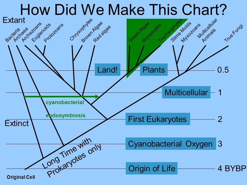 How Did We Make This Chart? Multicellular Animals MyxozoansProtozoans Tracheophytes Bryophytes True Fungi Slime Molds Red algae Brown Algae Green Alga