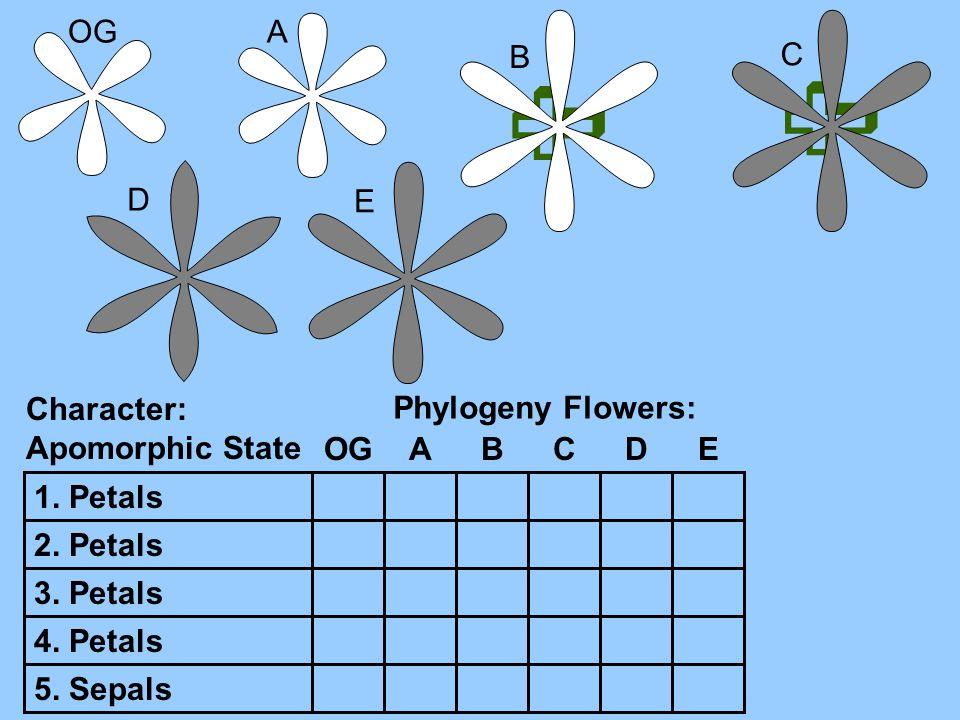 OGA B C D E Character: Apomorphic State 1. Petals 2. Petals 3. Petals 4. Petals 5. Sepals Phylogeny Flowers: OGABCDE