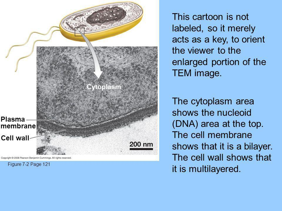 Figure 7-2 Page 121 Plasma membrane Cell wall Cytoplasm This cartoon is not labeled, so it merely acts as a key, to orient the viewer to the enlarged