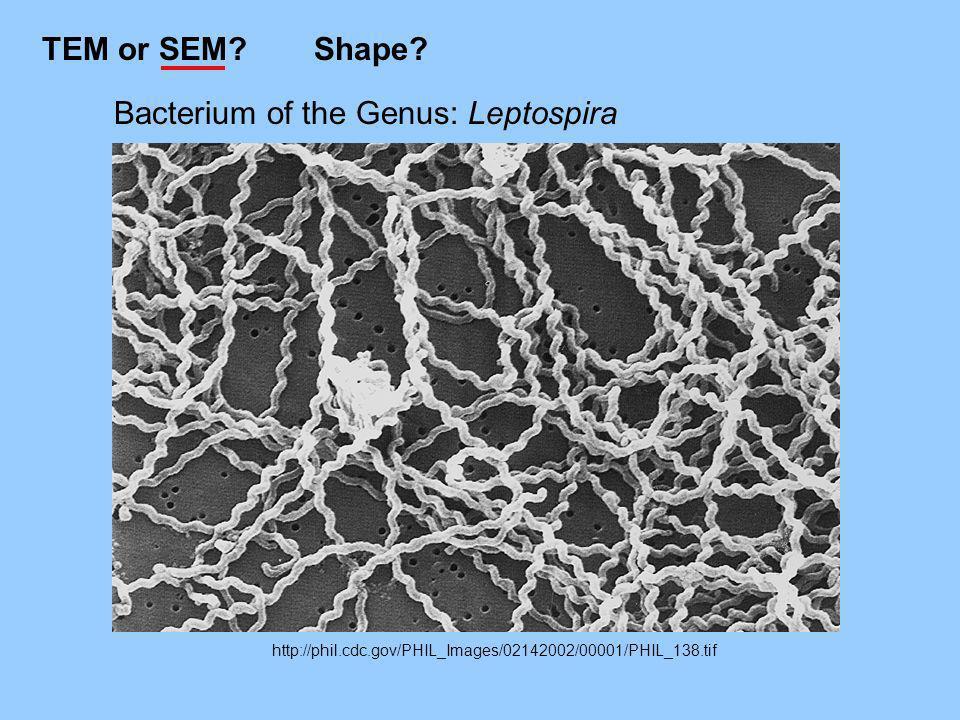 http://phil.cdc.gov/PHIL_Images/02142002/00001/PHIL_138.tif Bacterium of the Genus: Leptospira TEM or SEM?Shape?