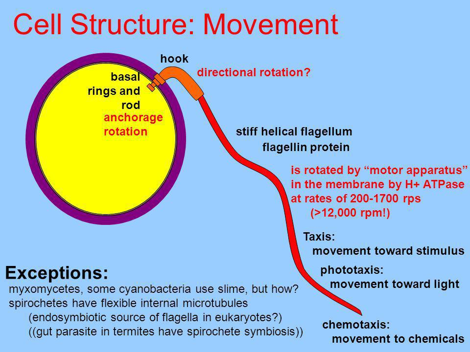 Cell Structure: Movement anchorage rotation basal rings and rod stiff helical flagellum is rotated by motor apparatus in the membrane by H+ ATPase at