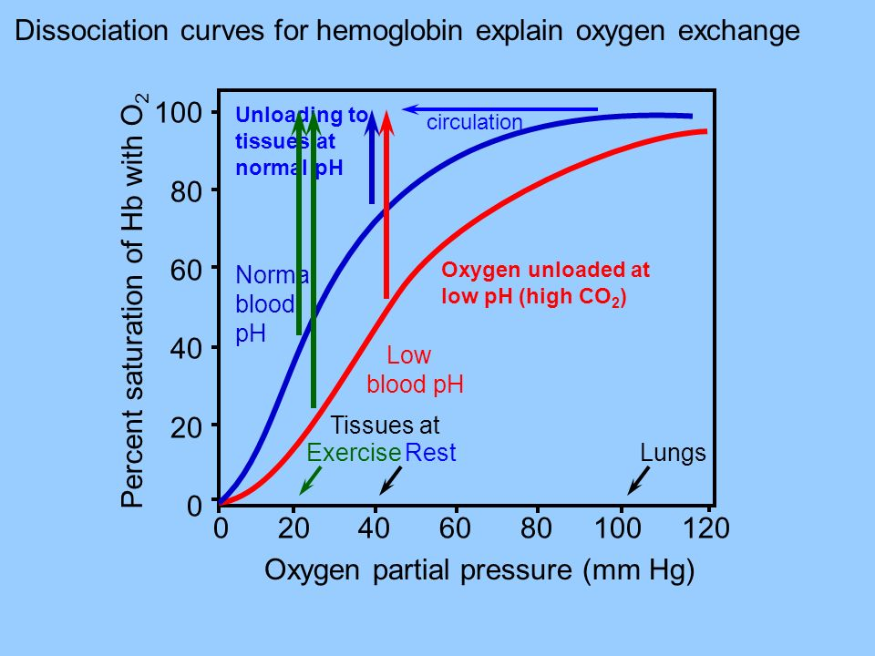 Percent saturation of Hb with O 2 100 80 60 40 20 0 Normal blood pH Oxygen partial pressure (mm Hg) 0 20 40 60 80 100 120 Low blood pH Unloading to tissues at normal pH Oxygen unloaded at low pH (high CO 2 ) RestLungsExercise Dissociation curves for hemoglobin explain oxygen exchange circulation Tissues at