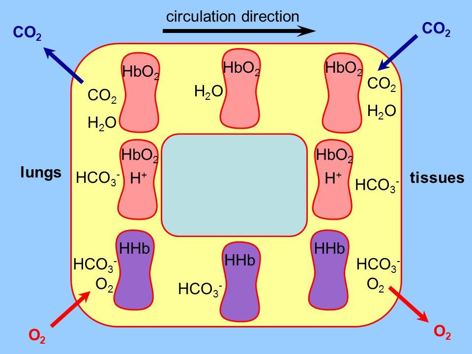 O2 lungs tissues CO 2 H2OH2O HbO 2 H2OH2O O2O2 HHb HCO 3 - HHb O2O2 O2O2 HCO 3 - HbO 2 HCO 3 - H+H+ CO 2 H2OH2O HbO 2 CO 2 HbO 2 HCO 3 - H+H+ CO 2 O2O2 circulation direction