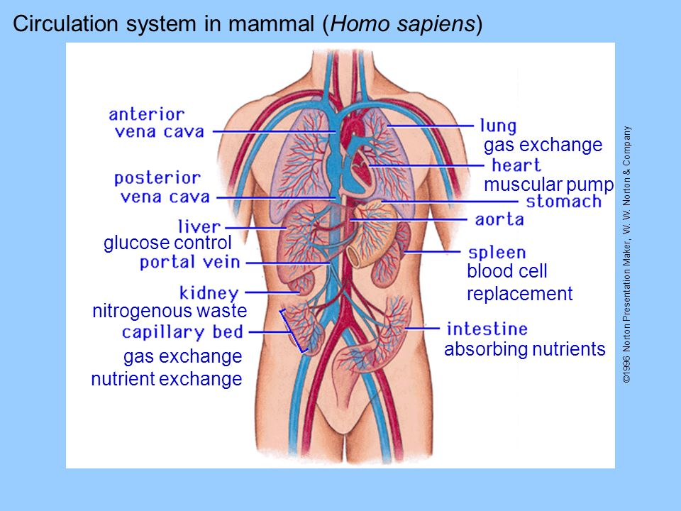 Circulation system in mammal (Homo sapiens) absorbing nutrients gas exchange glucose control nitrogenous waste gas exchange nutrient exchange blood cell replacement muscular pump