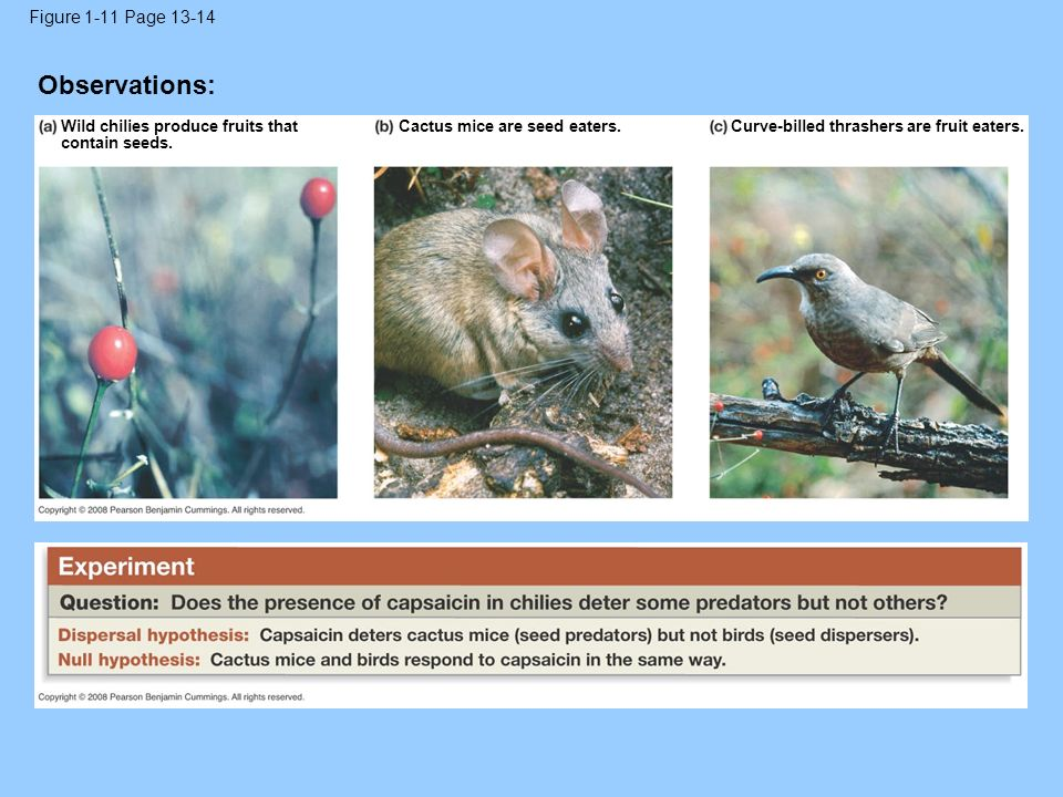 Figure 1-11 Page 13-14 Wild chilies produce fruits that contain seeds. Cactus mice are seed eaters.Curve-billed thrashers are fruit eaters. Observatio