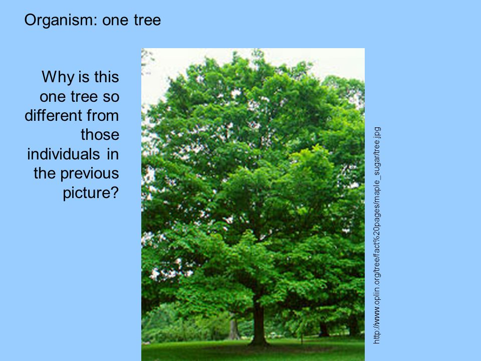 Organism: one tree http://www.oplin.org/tree/fact%20pages/maple_sugar/tree.jpg Why is this one tree so different from those individuals in the previous picture