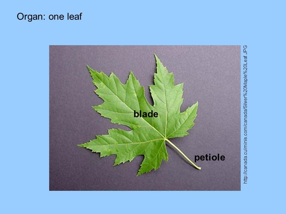 Organ: one leaf http://canada.culminis.com/canada/Silver%20Maple%20Leaf.JPG blade petiole