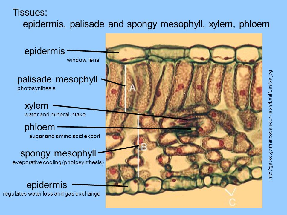 Tissues: epidermis, palisade and spongy mesophyll, xylem, phloem http://gecko.gc.maricopa.edu/~lsola/Leaf/Leafxs.jpg epidermis window, lens palisade mesophyll photosynthesis xylem water and mineral intake phloem sugar and amino acid export spongy mesophyll evaporative cooling (photosynthesis) epidermis regulates water loss and gas exchange