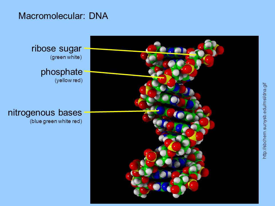 Macromolecular: DNA http://sbchem.sunysb.edu/msl/dna.gif ribose sugar (green white) phosphate (yellow red) nitrogenous bases (blue green white red)