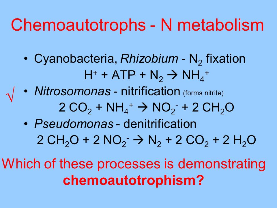 Chemoautotrophs - N metabolism Cyanobacteria, Rhizobium - N 2 fixation H + + ATP + N 2 NH 4 + Nitrosomonas - nitrification (forms nitrite) 2 CO 2 + NH