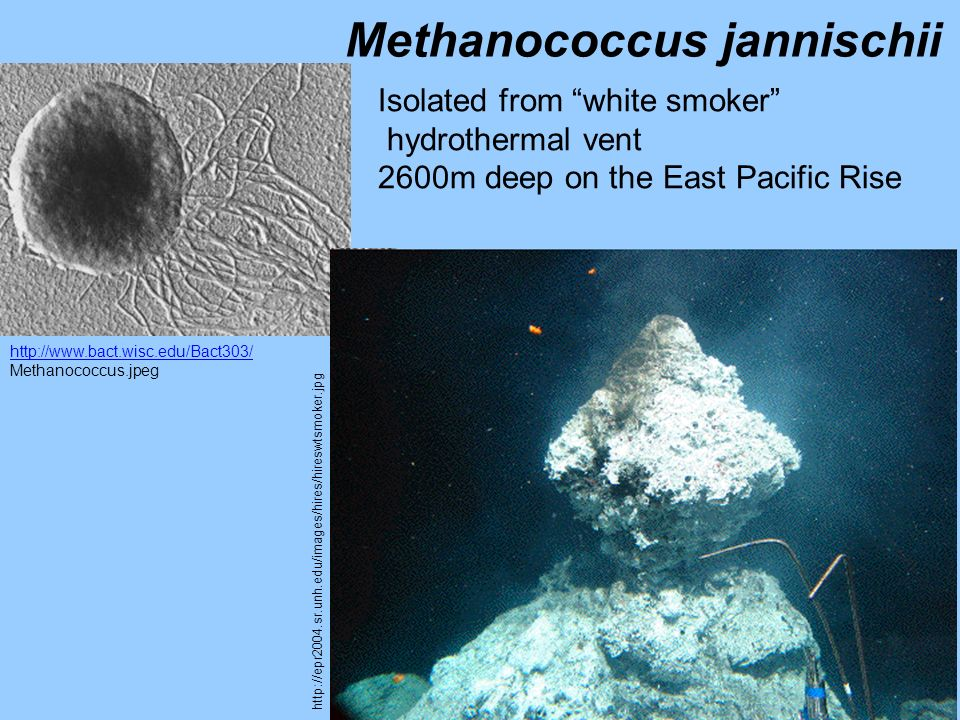 http://www.bact.wisc.edu/Bact303/ Methanococcus.jpeg Methanococcus jannischii Isolated from white smoker hydrothermal vent 2600m deep on the East Paci