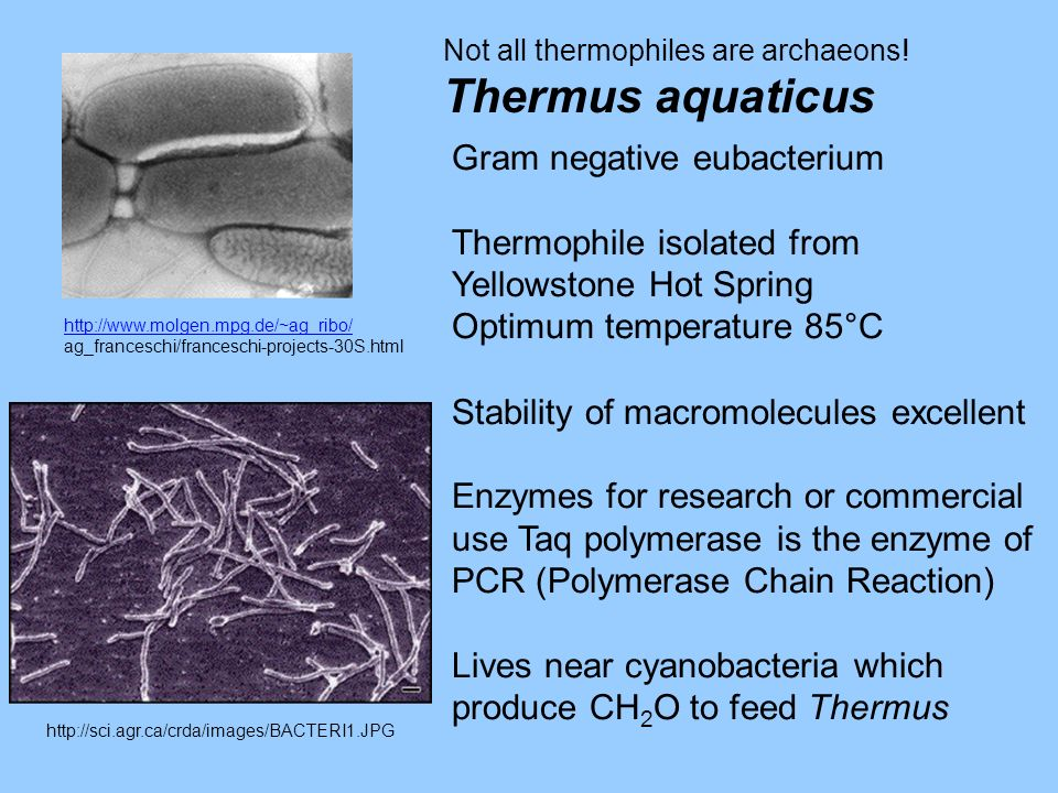 http://www.molgen.mpg.de/~ag_ribo/ ag_franceschi/franceschi-projects-30S.html Not all thermophiles are archaeons! Thermus aquaticus http://sci.agr.ca/