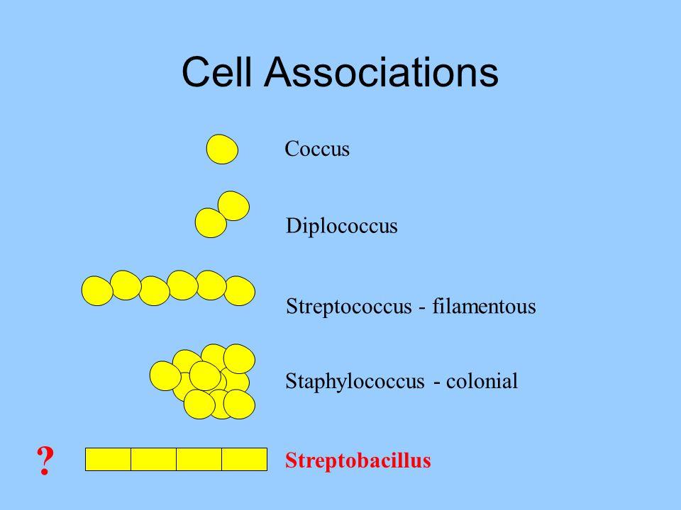 Cell Associations Coccus Diplococcus Streptococcus - filamentous Staphylococcus - colonial ? Streptobacillus