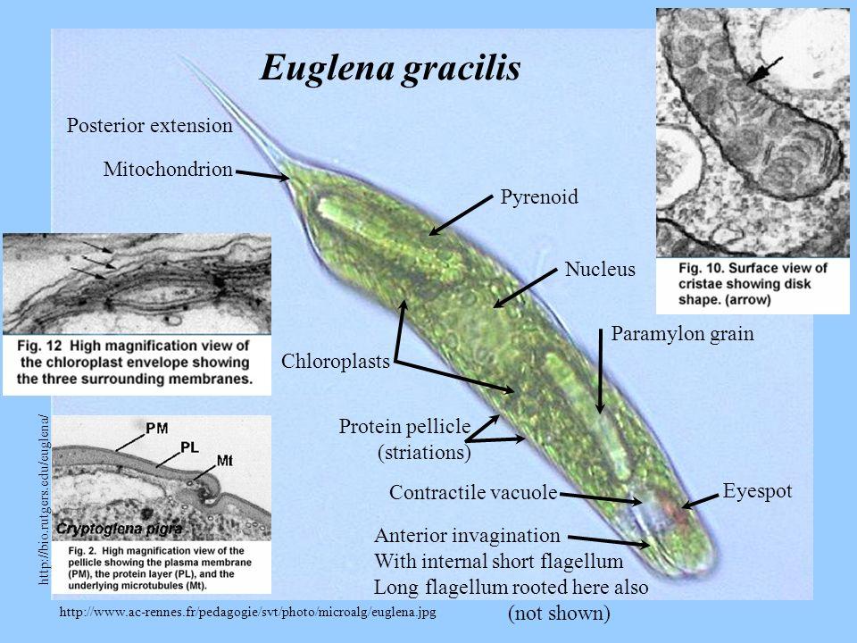 http://www.ac-rennes.fr/pedagogie/svt/photo/microalg/euglena.jpg Euglena gracilis Nucleus Eyespot Anterior invagination With internal short flagellum