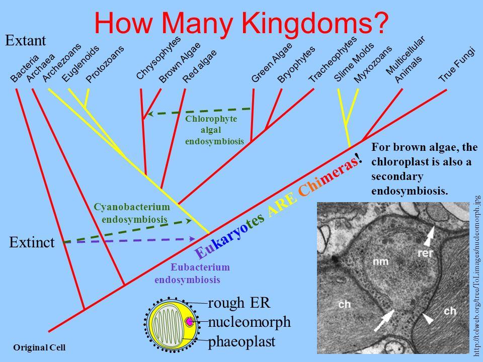 How Many Kingdoms? Multicellular Animals MyxozoansProtozoans Tracheophytes Bryophytes True Fungi Slime Molds Red algae Brown Algae Green Algae Chrysop