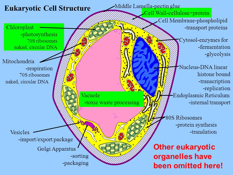 Vacuole -toxic waste processing Eukaryotic Cell Structure Middle Lamella-pectin glue Cell Membrane-phospholipid -transport proteins Cytosol-enzymes fo