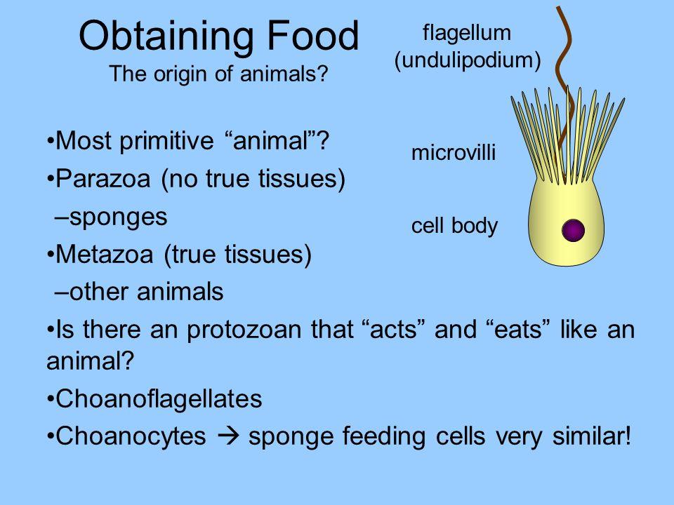 Obtaining Food The origin of animals? Most primitive animal? Parazoa (no true tissues) –sponges Metazoa (true tissues) –other animals Is there an prot