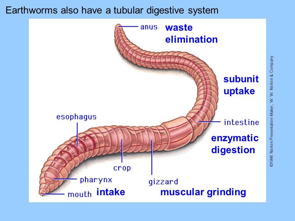 ©1996 Norton Presentation Maker, W. W. Norton & Company Earthworms also have a tubular digestive system intakemuscular grinding enzymatic digestion su