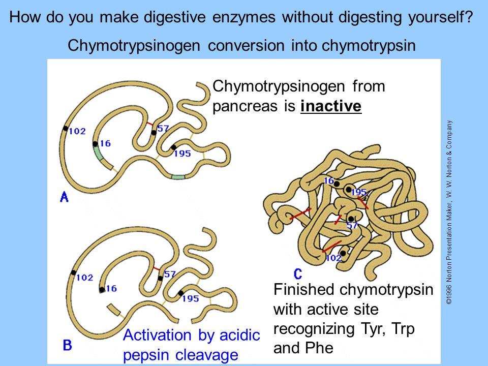 ©1996 Norton Presentation Maker, W. W. Norton & Company Chymotrypsinogen conversion into chymotrypsin Chymotrypsinogen from pancreas is inactive Activ