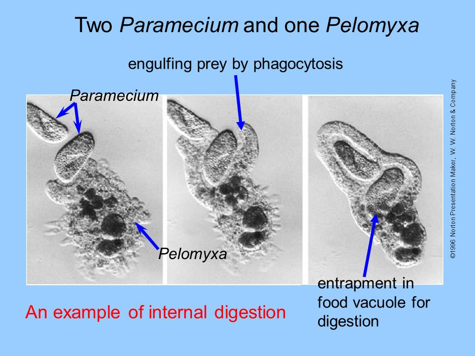 Two Paramecium and one Pelomyxa An example of internal digestion ©1996 Norton Presentation Maker, W. W. Norton & Company Paramecium Pelomyxa engulfing