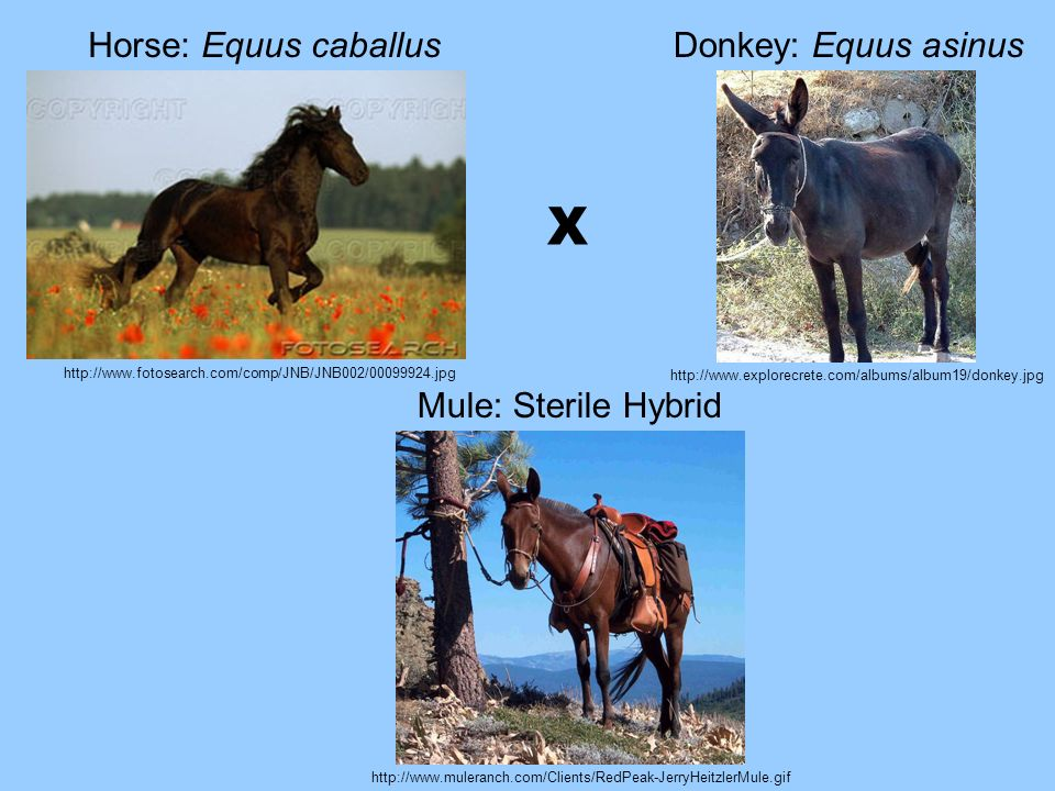 http://www.fotosearch.com/comp/JNB/JNB002/00099924.jpg http://www.explorecrete.com/albums/album19/donkey.jpg Horse: Equus caballusDonkey: Equus asinus