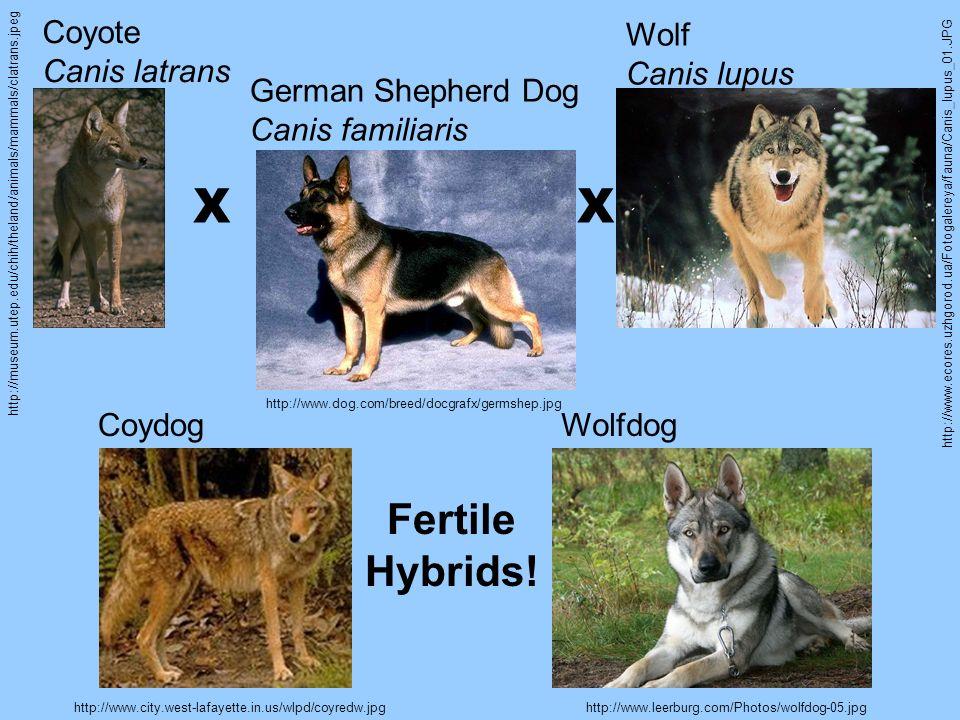 http://museum.utep.edu/chih/theland/animals/mammals/clatrans.jpeg http://www.ecores.uzhgorod.ua/Fotogalereya/fauna/Canis_lupus_01.JPG http://www.dog.c
