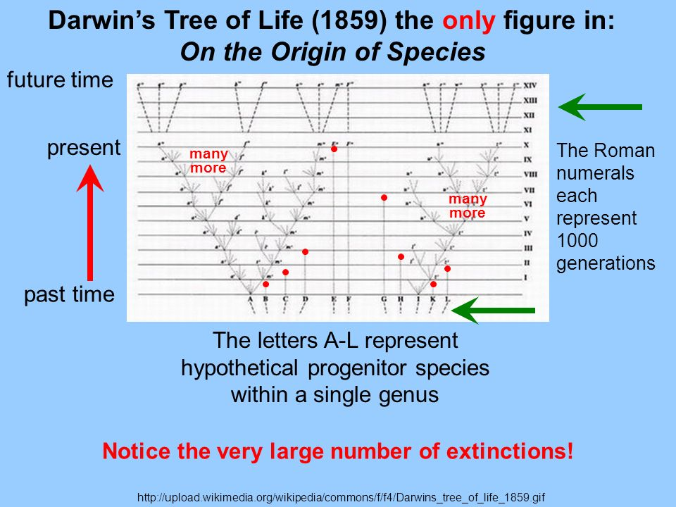 http://upload.wikimedia.org/wikipedia/commons/f/f4/Darwins_tree_of_life_1859.gif Darwins Tree of Life (1859) the only figure in: On the Origin of Species The Roman numerals each represent 1000 generations The letters A-L represent hypothetical progenitor species within a single genus past time present future time Notice the very large number of extinctions.