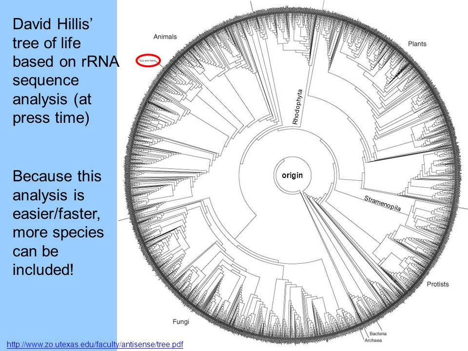 http://www.zo.utexas.edu/faculty/antisense/tree.pdf David Hillis tree of life based on rRNA sequence analysis (at press time) Because this analysis is easier/faster, more species can be included.
